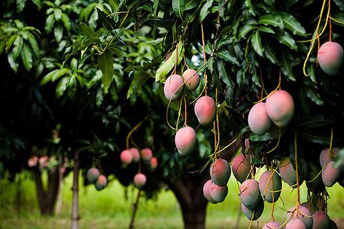 Mango Farms
