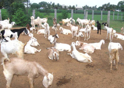 Goat Farming in Kerala