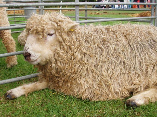 How to Start Sheep Farming in Pakistan | Multan Farms