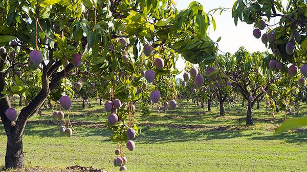 Tree Management Systems for Profitable Mango Production