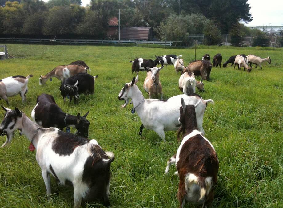 Benefits of Raising Goats