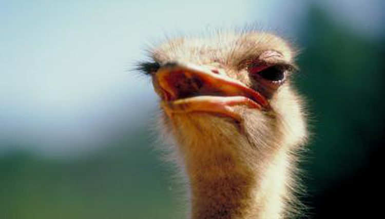 THE HABITAT & FOOD SOURCES OF THE OSTRICH