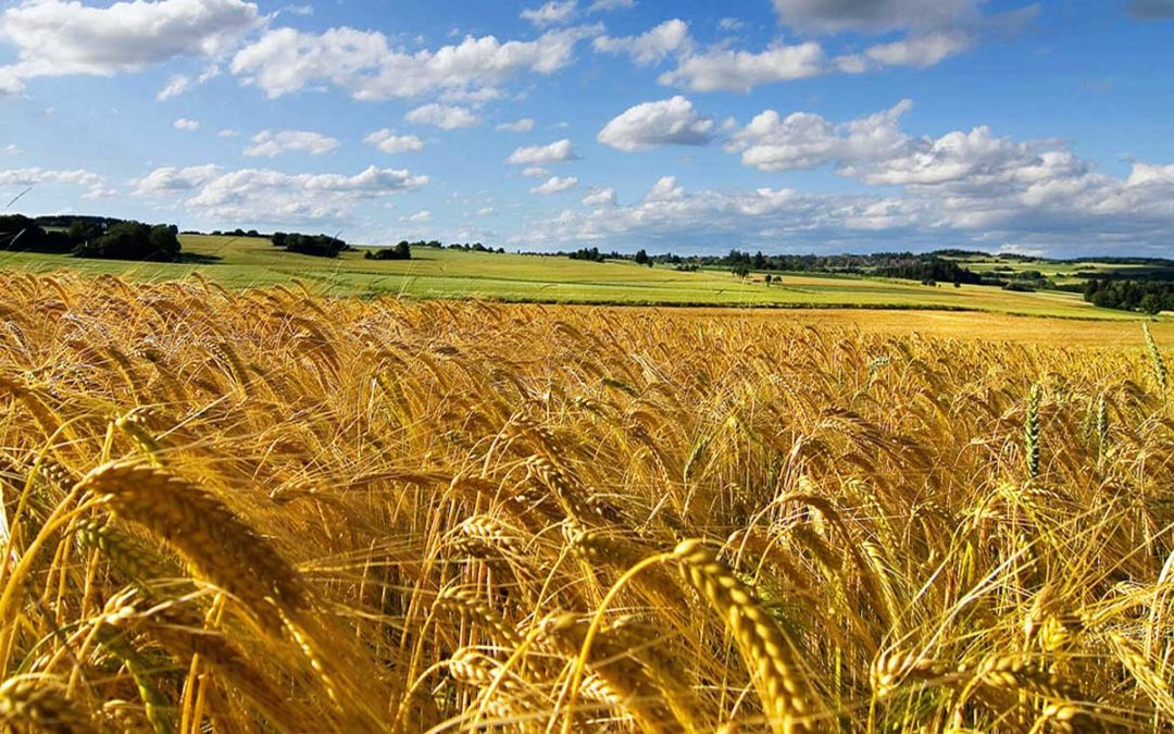 How wheat lodge and factors affecting wheat lodging?