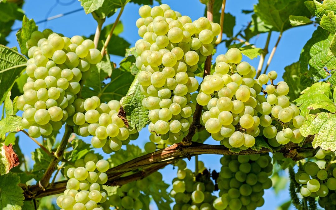Requirements for Grape Farming in Pakistan