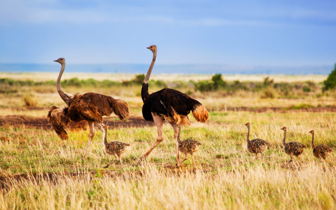 Ostrich Birds