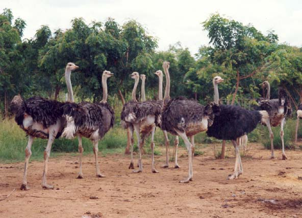 Recent developments in ostrich farming